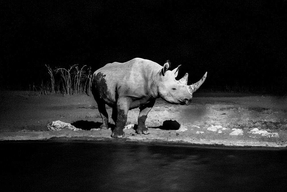 Black rhinoceros at Olifantsrus